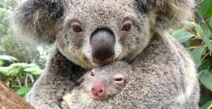 First koala baby born after the devastating fires