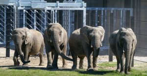 Here comes the retired circus elephants on the grass