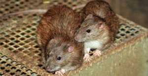 Municipalities are reporting on the record number of rats