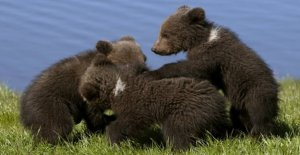 Trump allow hunting of bear cubs