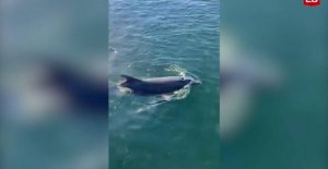 Watch the video: Dolphin frolicking in the Danish healthy