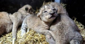 After several years without cubs: Four lions born at this zoo