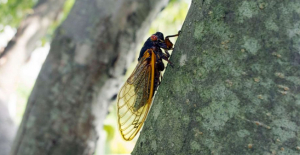 Cicada invasion: Following 17 Decades underground, billions to emerge this Spring.