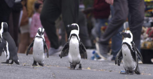 Waddling into view are the Celebrities of Netflix's'Penguin Town'